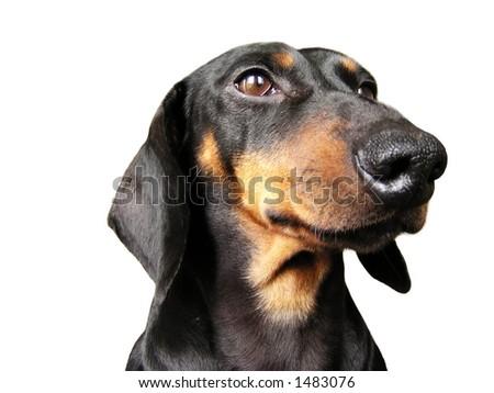 Dachshund portrait - stock photo