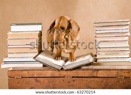 dachshund professor - stock photo
