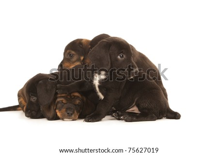 Dachshund puppies embracing, isolated on white - stock photo