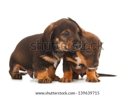 Dachshund puppies embracing - together forever, isolated on white - stock photo