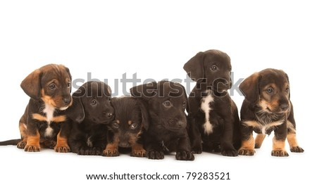 Dachshund puppies, isolated on white - stock photo