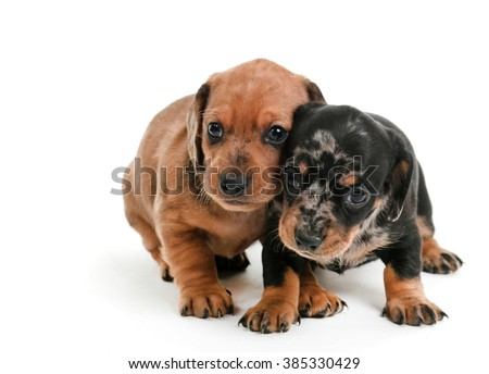 Dachshund Puppies 1 month , huddled together