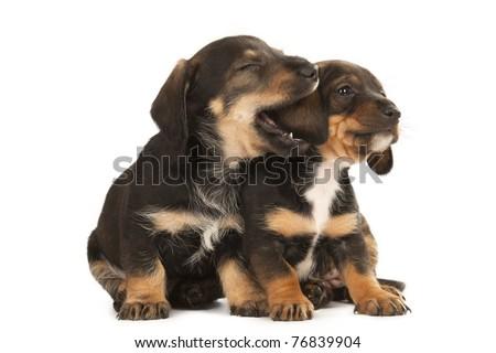 Dachshund puppies sharing their secrets, studio shot - stock photo