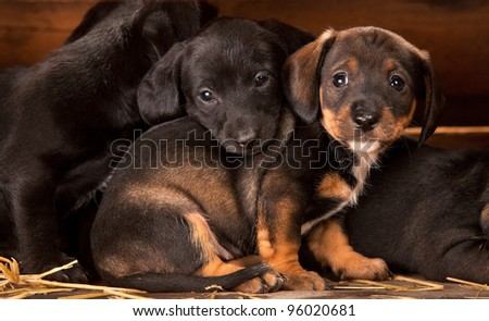 Dachshund puppies 3 weeks old purebred over wooden  background - stock photo