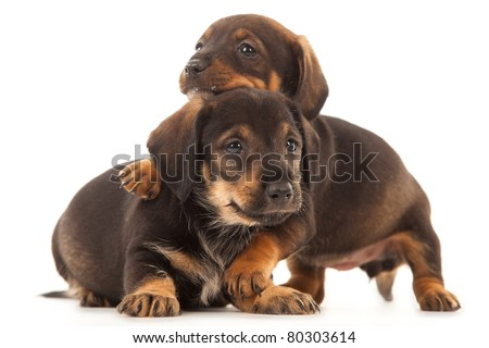 Dachshund puppies with Messy mouths embracing - together forever, isolated on white