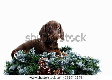 Dachshund puppy and fir branch on white background - stock photo