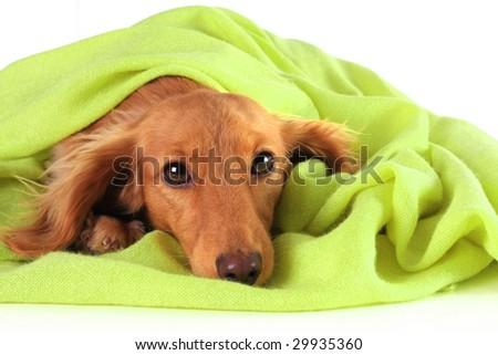 Dachshund puppy cozy under her green blanket. - stock photo