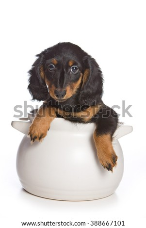 Dachshund puppy in a pan (isolated on white)