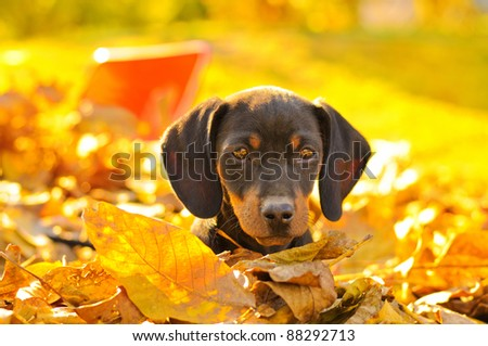 Dachshund puppy in a pile of leaves - stock photo