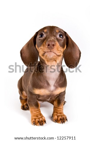Dachshund puppy isolated on white