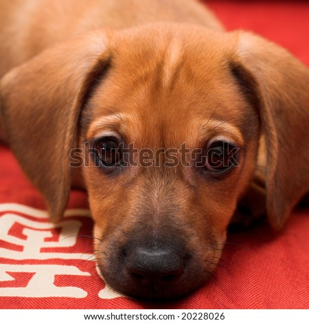 Dachshund puppy lay on red sofa - stock photo