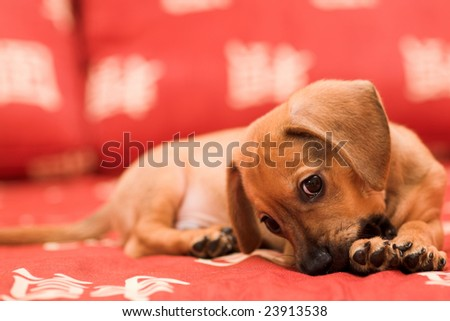 Dachshund puppy lay on red sofa and gnow lag - stock photo