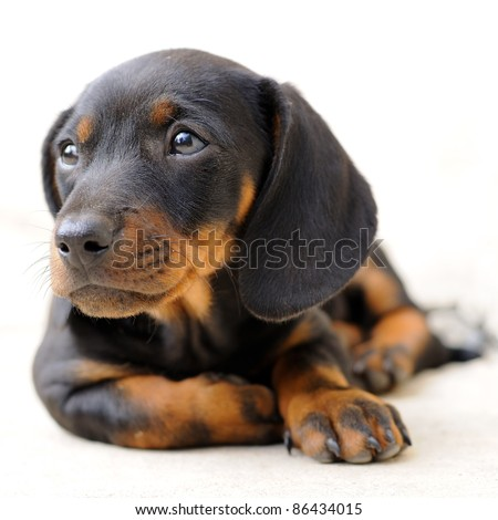Dachshund puppy looking away - stock photo