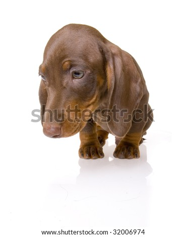 dachshund puppy on the white background