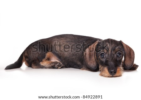 Dachshund puppy on white background - stock photo