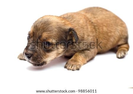 Dachshund puppy on white background - stock photo