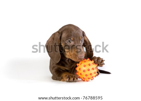 Dachshund puppy playing with yellow ball on white ground