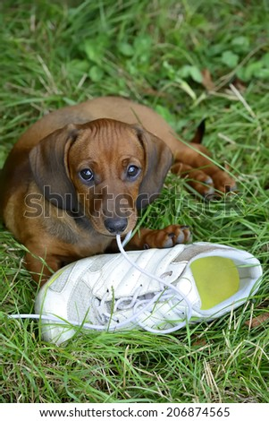 Dachshund puppy plays with shoe outside in grass  - stock photo