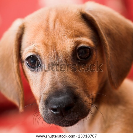 Dachshund puppy portrait - stock photo