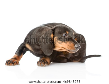 Dachshund puppy scratching. isolated on white background