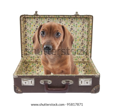 Dachshund puppy sits in a vintage suitcase with clipping path - stock photo