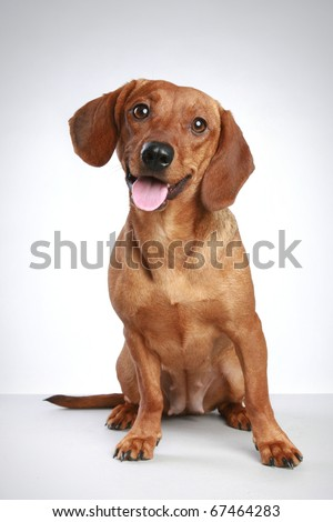 Dachshund puppy sits on a grey background