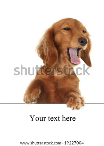 Dachshund puppy speaking,  funny expression! - stock photo