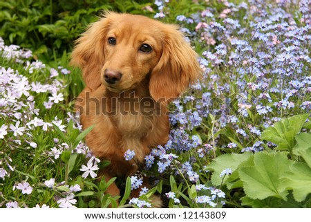 Dachshund puppy, surrounded by flowers. - stock photo