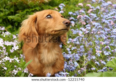 Dachshund puppy surrounded by flowers. - stock photo