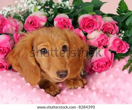 Dachshund puppy surrounded by roses - stock photo