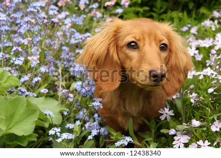 Dachshund puppy surrounded by spring flowers. - stock photo
