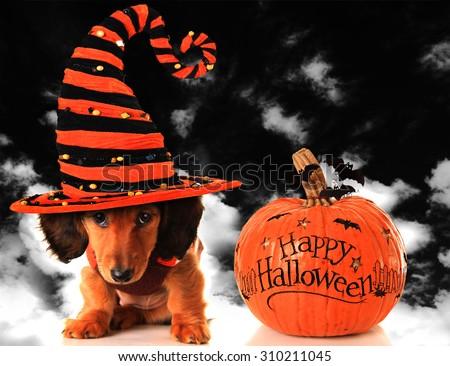 Dachshund puppy wearing a witch hat, next to a pumpkin.  - stock photo