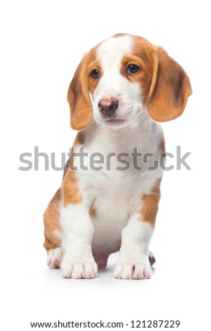 Dachshund puppy, Westphalian Dachsbracke on white background - stock photo