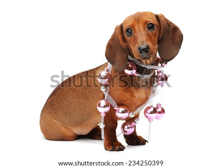 Dachshund puppy with a christmas ball - stock photo