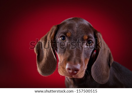 Dachshund puppy with a red background