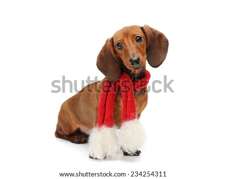 Dachshund puppy with a red christmas scarf - stock photo