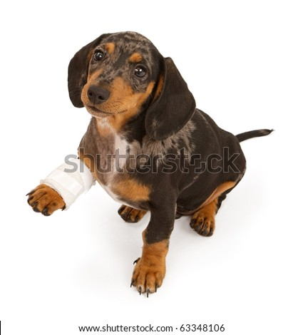 Dachshund puppy with an injured leg that is wrapped in a bandage, Isolated on white - stock photo