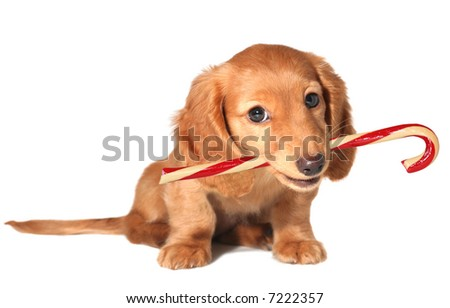 Dachshund puppy with candy cane. - stock photo