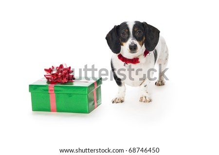 Dachshund Puppy With Gift Box