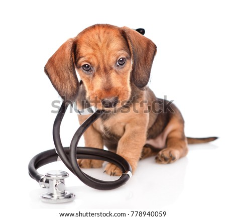 dachshund puppy with stethoscope on his neck looking at camera. isolated on white background