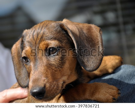 Dachshund puppy wondering what life will bring...