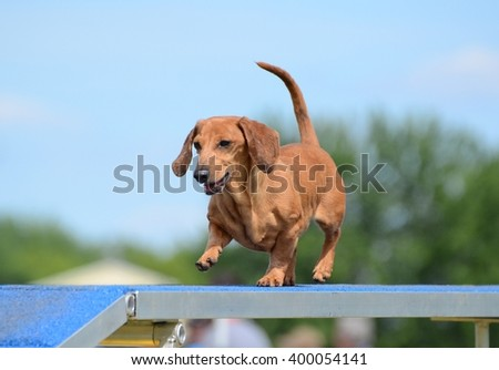 Dachshund Running on a Dog Walk at an Agility Trial - stock photo