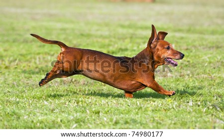 Dachshund running on green grass in sunshine - stock photo