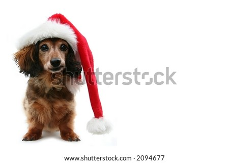 Dachshund santa, funny expression. One in a holiday series featuring this pup. - stock photo