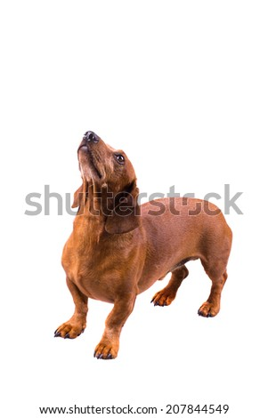 Dachshund / Sausage Dog, Isolated On White, Looking Up, Standing - stock photo