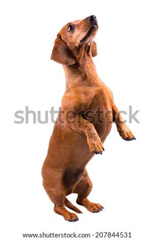 Dachshund / Sausage Dog, Isolated On White, Looking Up, Standing On Two