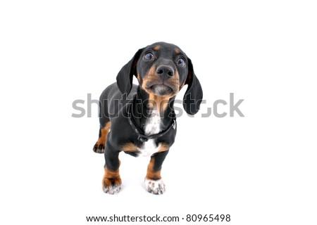 Dachshund standing and staring - stock photo