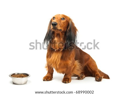 Dachshund waiting for clearance from host to start eating