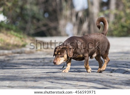 Dachshund walking in the park