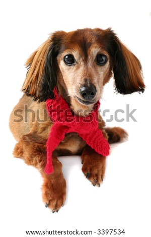 Dachshund wearing a red knitted scarf. Part of a creative series featuring the same pup. - stock photo